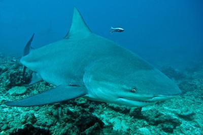 Bull Shark--Photographic Print
