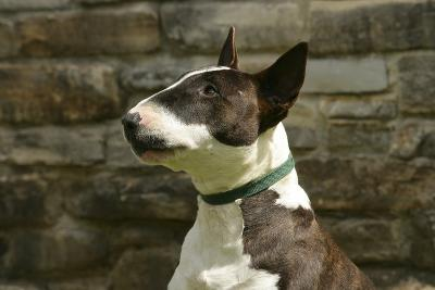 Bull Terrier 05-Bob Langrish-Photographic Print