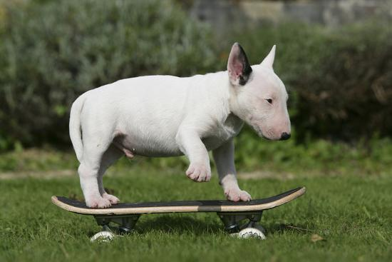 Bull Terrier 22-Bob Langrish-Photographic Print
