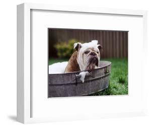 Bulldog Bathing In Washtub