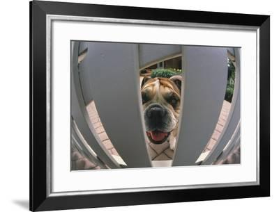 Bulldog Looking through Gate-DLILLC-Framed Photographic Print