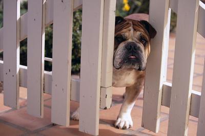 https://imgc.artprintimages.com/img/print/bulldog-peering-through-wooden-gate_u-l-pzrqra0.jpg?p=0
