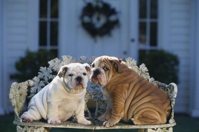 https://imgc.artprintimages.com/img/print/bulldog-puppies-on-garden-bench_u-l-pzr2sf0.jpg?p=0