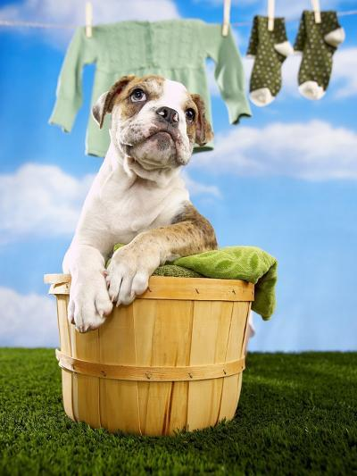Bulldog Puppy in Laundry Basket-Lew Robertson-Photographic Print
