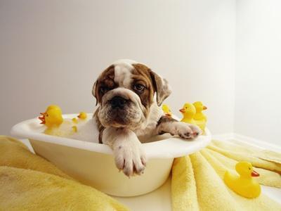 https://imgc.artprintimages.com/img/print/bulldog-puppy-in-miniature-bathtub_u-l-pzlioa0.jpg?p=0