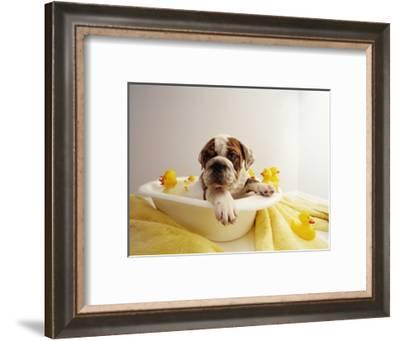 Bulldog Puppy in Miniature Bathtub-Larry Williams-Framed Photographic Print