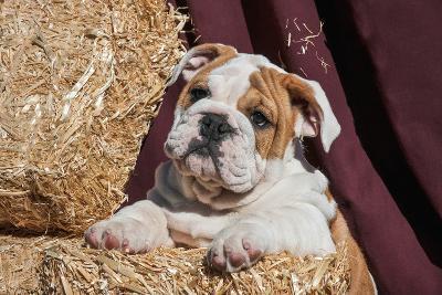 Bulldog Puppy Lying on Hay Bales-Zandria Muench Beraldo-Photographic Print