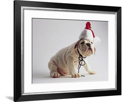 Bulldog Puppy Wearing Santa Hat-Jim Craigmyle-Framed Photographic Print