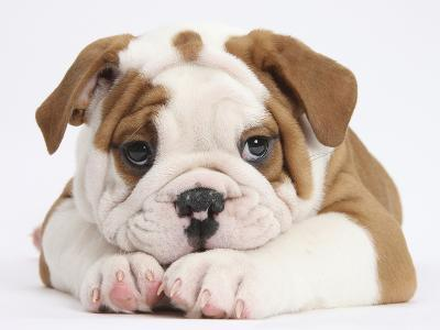 Bulldog Puppy With Chin On Paws, Against White Background-Mark Taylor-Photographic Print