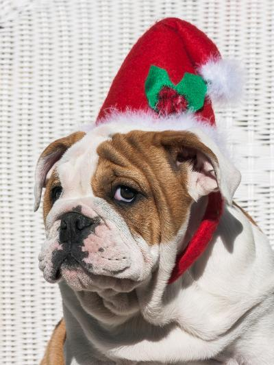 Bulldog Puppy with Christmas Hat on-Zandria Muench Beraldo-Photographic Print
