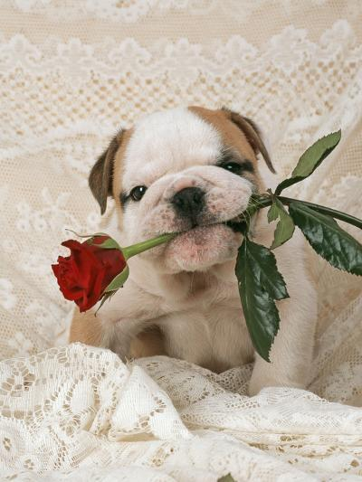 Bulldog Puppy with Rose in Mouth--Photographic Print