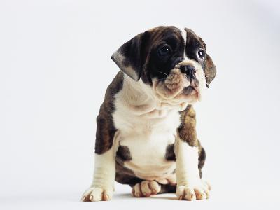 Bulldog Puppy-Jim Craigmyle-Photographic Print