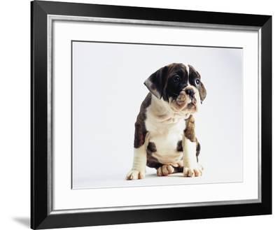 Bulldog Puppy-Jim Craigmyle-Framed Photographic Print