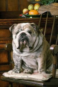 Bulldog Sitting on Chair