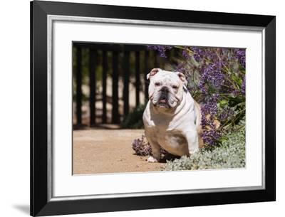 Bulldog Sitting on Garden Pathway-Zandria Muench Beraldo-Framed Photographic Print
