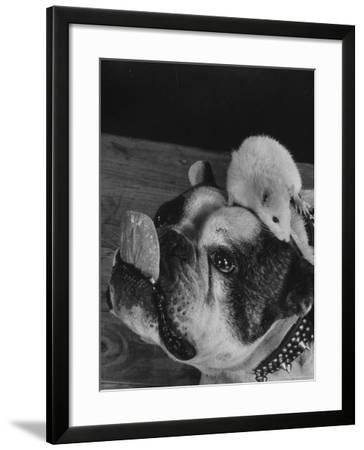 Bulldog with White Mouse Sitting on Head-Gjon Mili-Framed Photographic Print