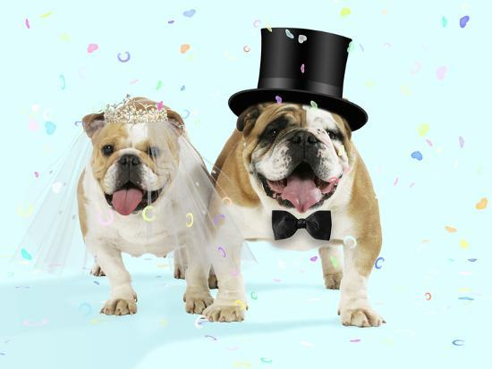 Bulldogs Male and Female--Photographic Print
