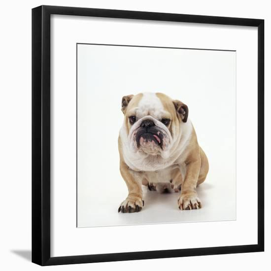 BullFacing--Framed Photographic Print
