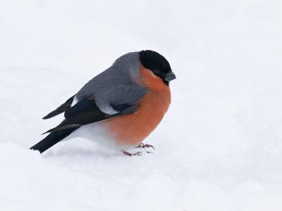 Bullfinch Male in Snow, Scotland, UK-Andy Sands-Photographic Print