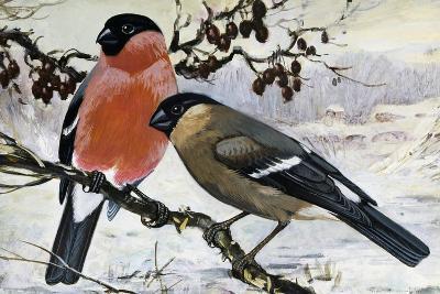 Bullfinch Pair (Pyrrhula Pyrrhula), Fringillidae--Giclee Print