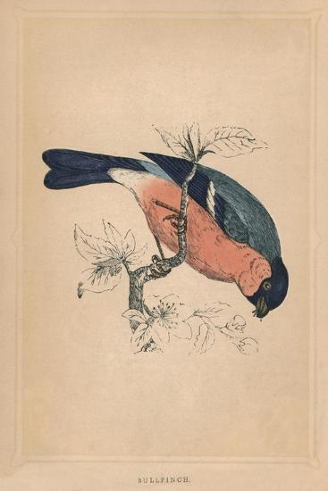 'Bullfinch', (Pyrrhula pyrrhula), c1850, (1856)-Unknown-Giclee Print