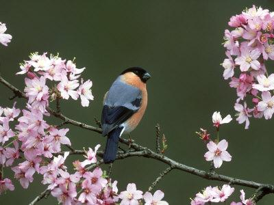 Bullfinch, Pyrrhula Pyrrhula, Male, Feeding on Cherry Blossom, UK-Mark Hamblin-Photographic Print