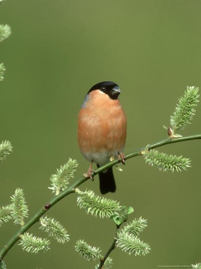 Bullfinch, Pyrrhula Pyrrhula Male on Willow Yorkshire, UK-Mark Hamblin-Photographic Print