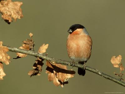 Bullfinch, Pyrrhula Pyrrhula Male Perched on Small Oak Branch, S. Yorks-Mark Hamblin-Photographic Print