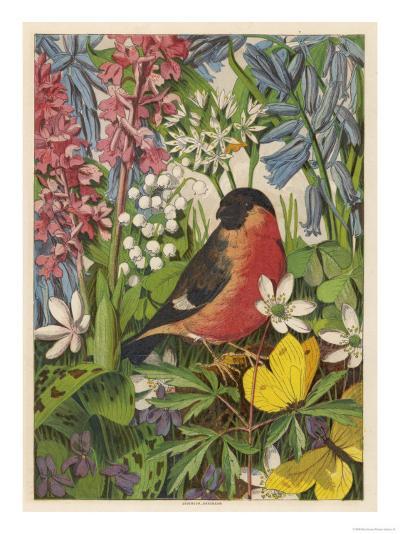 Bullfinch--Giclee Print