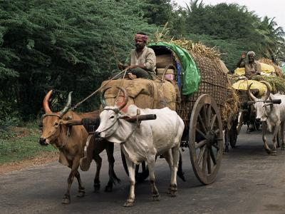 Bullock Carts are the Main Means of Transport for Local Residents, Tamil Nadu State, India-R H Productions-Photographic Print