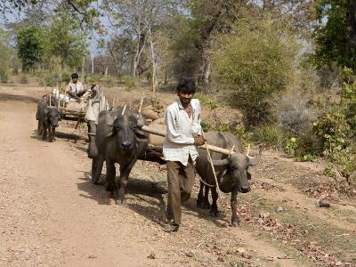 Bullock Carts, Tala, Bandhavgarh National Park, Madhya Pradesh, India-Thorsten Milse-Photographic Print