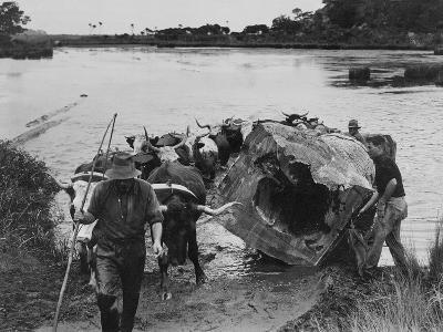 Bullock Team Hauling a Kauri Log Out of a River--Photographic Print
