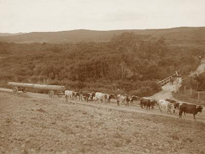 Bullock Team with a Log--Photographic Print