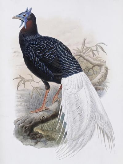 Bulwer's Pheasant-John Gould-Giclee Print
