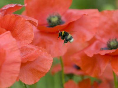 Bumble Bee Flying to Poppy Flower to Gather Pollen, Hertfordshire, England, UK-Andy Sands-Photographic Print