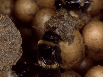 Bumble Bees, Inspecting Eggs in Nest, UK-O'toole Peter-Photographic Print