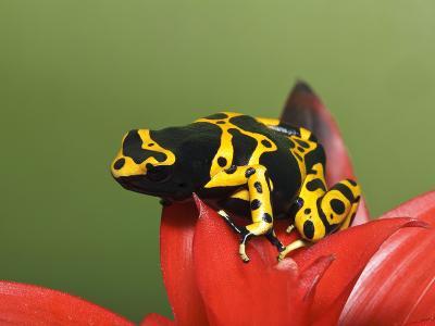 Bumblebee Poison Frog, Aka Yellow-Banded Poison Dart Frog-Adam Jones-Photographic Print