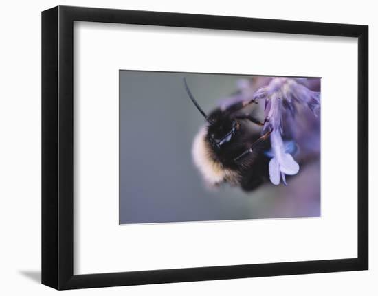 Bumblebees and bees at the work,-Nadja Jacke-Framed Photographic Print
