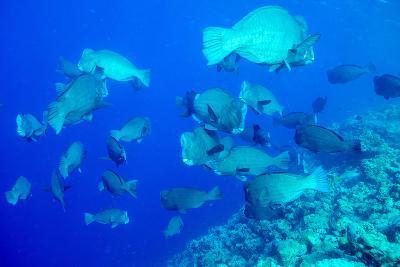 Bumphead Parrotfish (Bolbometopon Muricatum) Schooling. Quensland, Australia, Pacific-Louise Murray-Photographic Print
