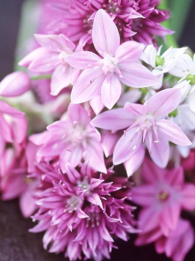 "Bunch 0F Allium Scoenoprasum, Allium Unifoloium & Allium Oreophilum ""Zwanenburg""-Lynn Keddie-Photographic Print"
