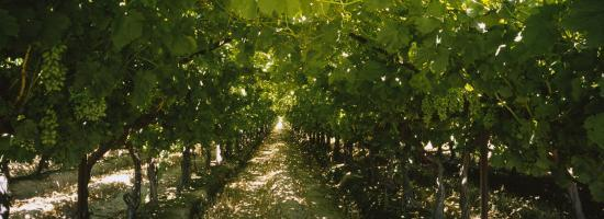 Bunch of Grapes in a Vineyard, Fillmore, California, USA--Photographic Print