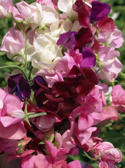 Bunch of Sweet Pea Flowers, Lathyrus Odoratus Old Fashioned Mixed Taken in August-Michael Black-Photographic Print