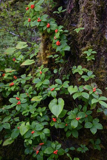 Bunchberries in the Rain Forest Near Petersburg-Michael Melford-Photographic Print