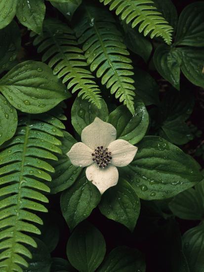 Bunchberry Flower Framed by Ferns-Melissa Farlow-Premium Photographic Print