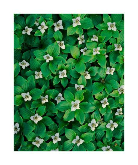 Bunchberry-William Neill-Giclee Print