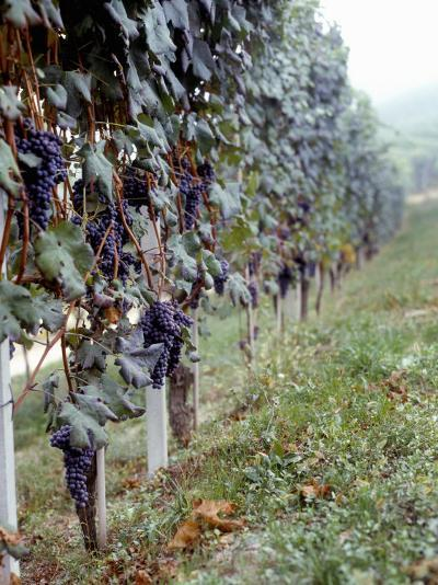 Bunches of Grapes Growing in a Vineyard, Barbaresco Docg, Piedmont, Italy--Photographic Print