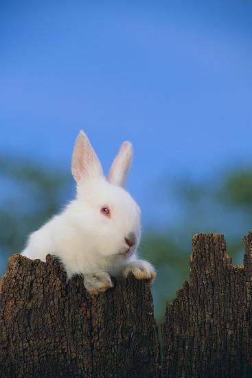 Bunny Peeking over a Fence-DLILLC-Photographic Print
