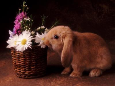 Bunny Smelling Basket of Daisies-Don Mason-Photographic Print