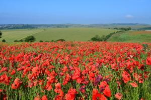 Red Poppy Field in England by bunsview