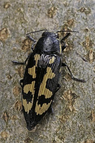 Buprestis Novemmaculata (Jewel Beetle)-Paul Starosta-Photographic Print